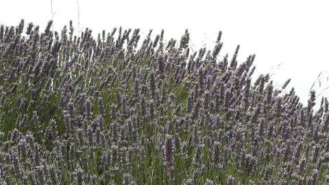 Lavender 2 Footage