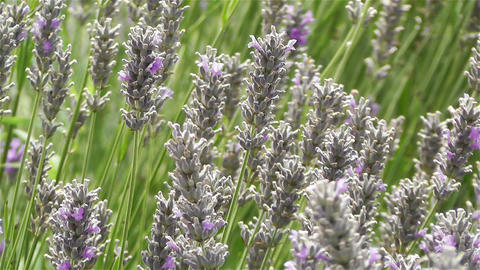 Lavender 4 Stock Video Footage