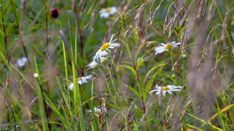 Blue chamomile flowers. Shot in RAW, wide dynamic  Footage