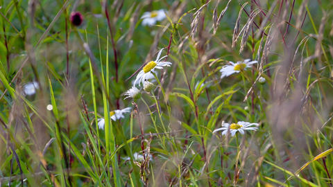 Blue chamomile flowers. Shot in RAW, wide dynamic Stock Video Footage