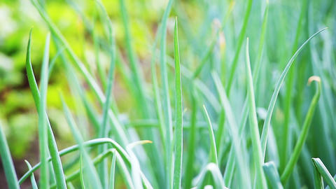 Green onion leaves macro. Shot in RAW, wide dynami Stock Video Footage