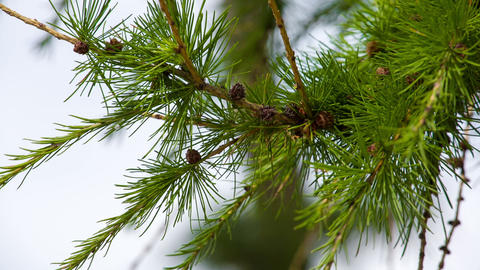 Larch branches macro. Shot in RAW, wide dynamic ra Stock Video Footage