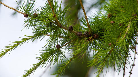 Larch branches macro. Shot in RAW, wide dynamic ra Footage