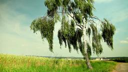 Birch tree in a summer field Stock Video Footage