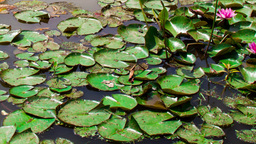blooming water lilies in a pond Stock Video Footage
