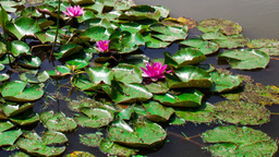 blooming water lilies in a pond Footage