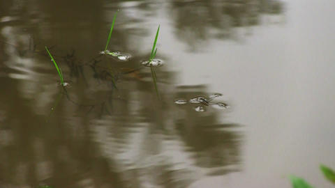 Pond skaters on a surface of water Footage