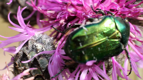 Chafer beetle on a flower Stock Video Footage