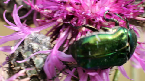 Chafer beetle on a flower Footage