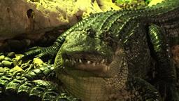 Crocodiles 2 Stock Video Footage