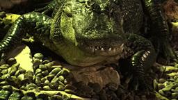 Crocodiles 2 Footage