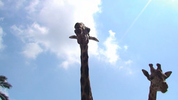 Giraffes appearing filmed from behind head detail Stock Video Footage