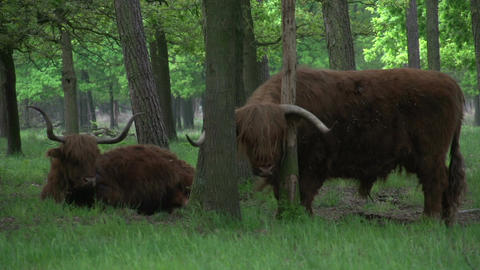 Scottish Highlanders in the woods Footage