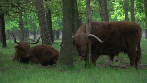 Scottish Highlanders in the woods Stock Video Footage