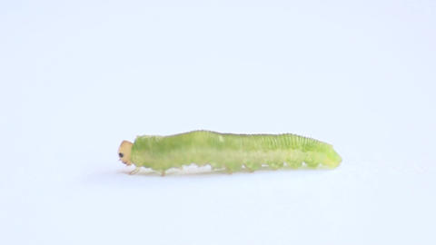 A caterpillar on a white background in 400 fps mac Footage