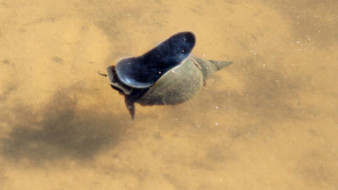 Great pond snail Stock Video Footage