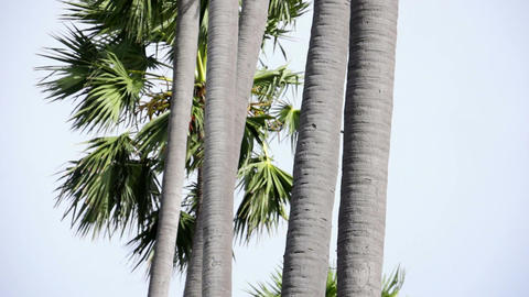 Tall Palm Trees - Tilt Stock Video Footage