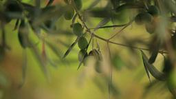 OLIVE TREE Stock Video Footage