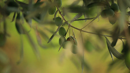OLIVE TREE Stock Video Footage