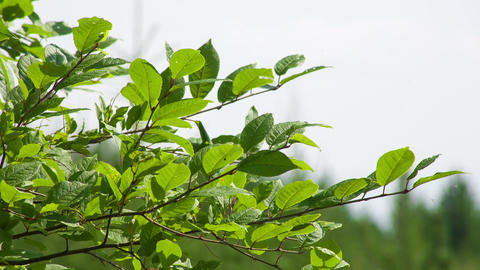 Closeup cherry leaves in summer. Shot to RAW, wide Stock Video Footage