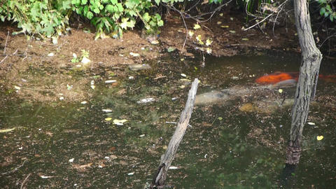 color carps chase courtship underwater Stock Video Footage