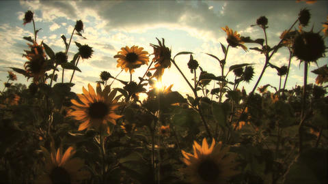 (1117C) Summer Sunflowers in Afternoon Sunset Stock Video Footage