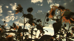(1117C) Summer Sunflowers in Afternoon Sunset Footage
