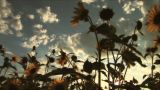 (1117C) Summer Sunflowers In Afternoon Sunset stock footage