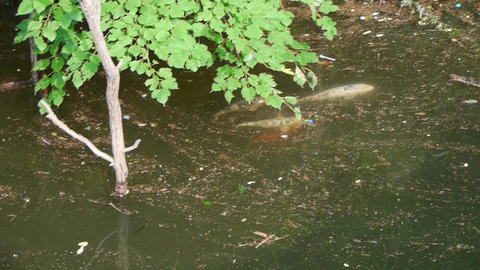 many color carps chase courtship underwater Stock Video Footage