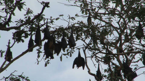 Bats in tree Stock Video Footage