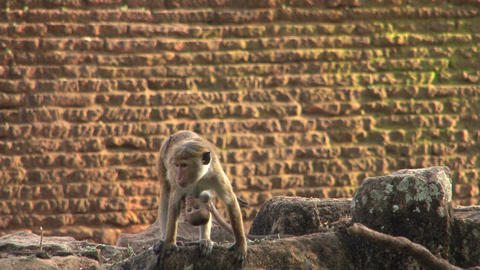 Monkey with baby monkey at Jetavana stupa in Anuradhapura Footage