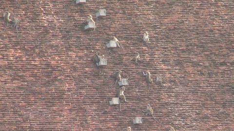 Monkeys at Jetavana stupa in Anuradhapura Stock Video Footage