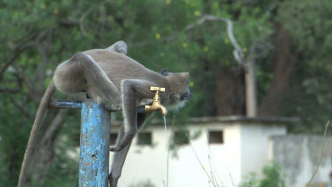 Monkey drinking water out of the crane Stock Video Footage