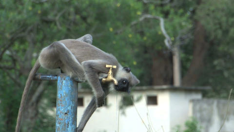 Monkey drinking water out of the crane Footage