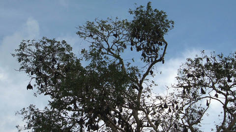 Bats in tree Footage