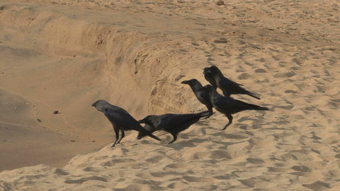 Crows on the beach Footage