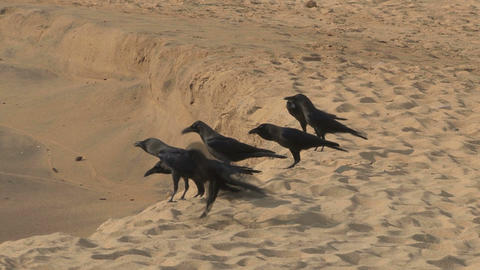 Crows on the beach Stock Video Footage