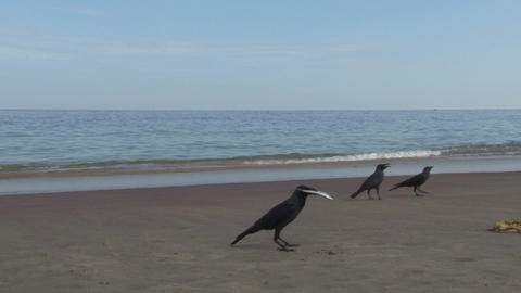 Crow with fish Stock Video Footage
