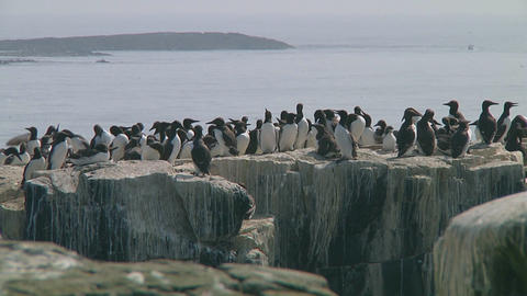 Colony of guillemots Footage