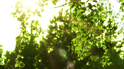 Birch branches and sun Stock Video Footage
