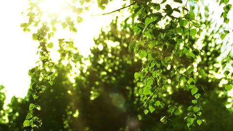 Birch branches and sun Footage