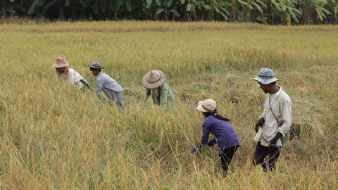 Farmer harvesting rice field in Thailand Stock Video Footage