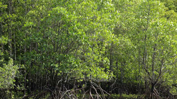 Mangrove forest Stock Video Footage