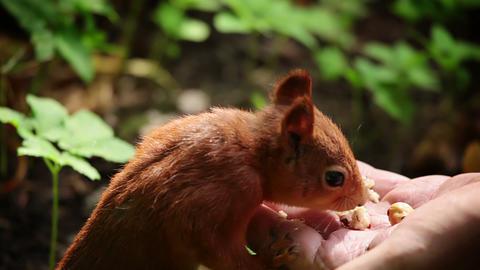 Squirrel eats nuts Stock Video Footage