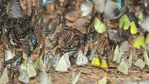 Tropical butterflies on soil Stock Video Footage