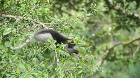 Dusky Leaf Monkey eating Stock Video Footage