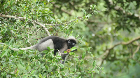 Dusky Leaf Monkey eating Footage