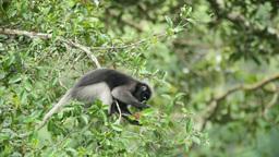 Dusky Leaf Monkey eating Stock Video Footage
