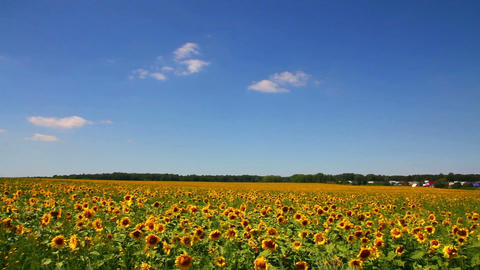 sunflowers field under blue sky with clouds Footage