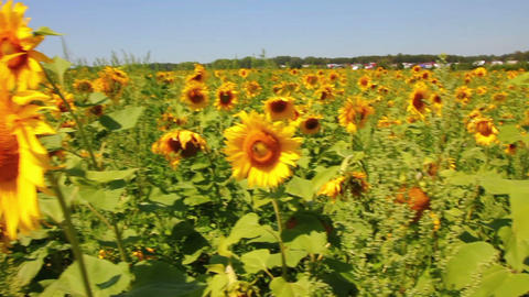 walking through sunflowers field Stock Video Footage